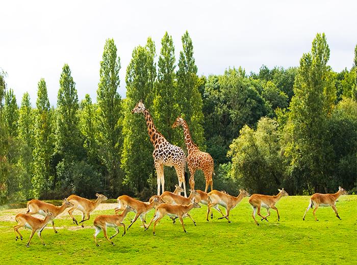 Korting Entreeticket voor Thoiry Zoo Safaripark Parijs