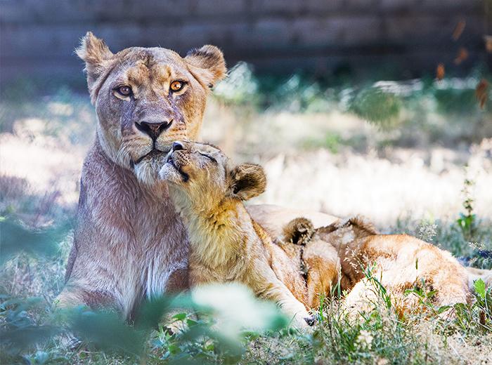 Korting Spot ruim 800 diersoorten vanuit je eigen auto in Thoiry Zoo Safaripark Parijs