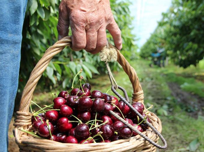 Korting Kersen plukken, eten en beleven in de Betuwe